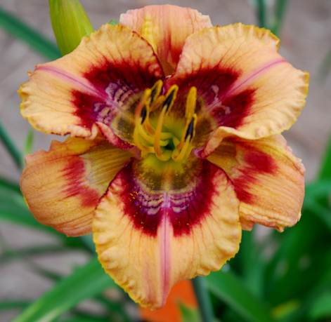 Shake it Up, Daylily