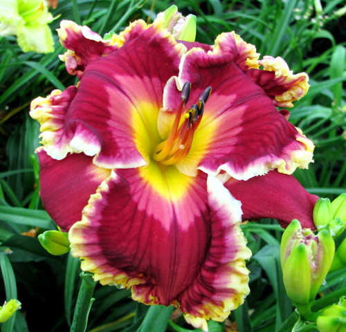 Superstitious, Daylily